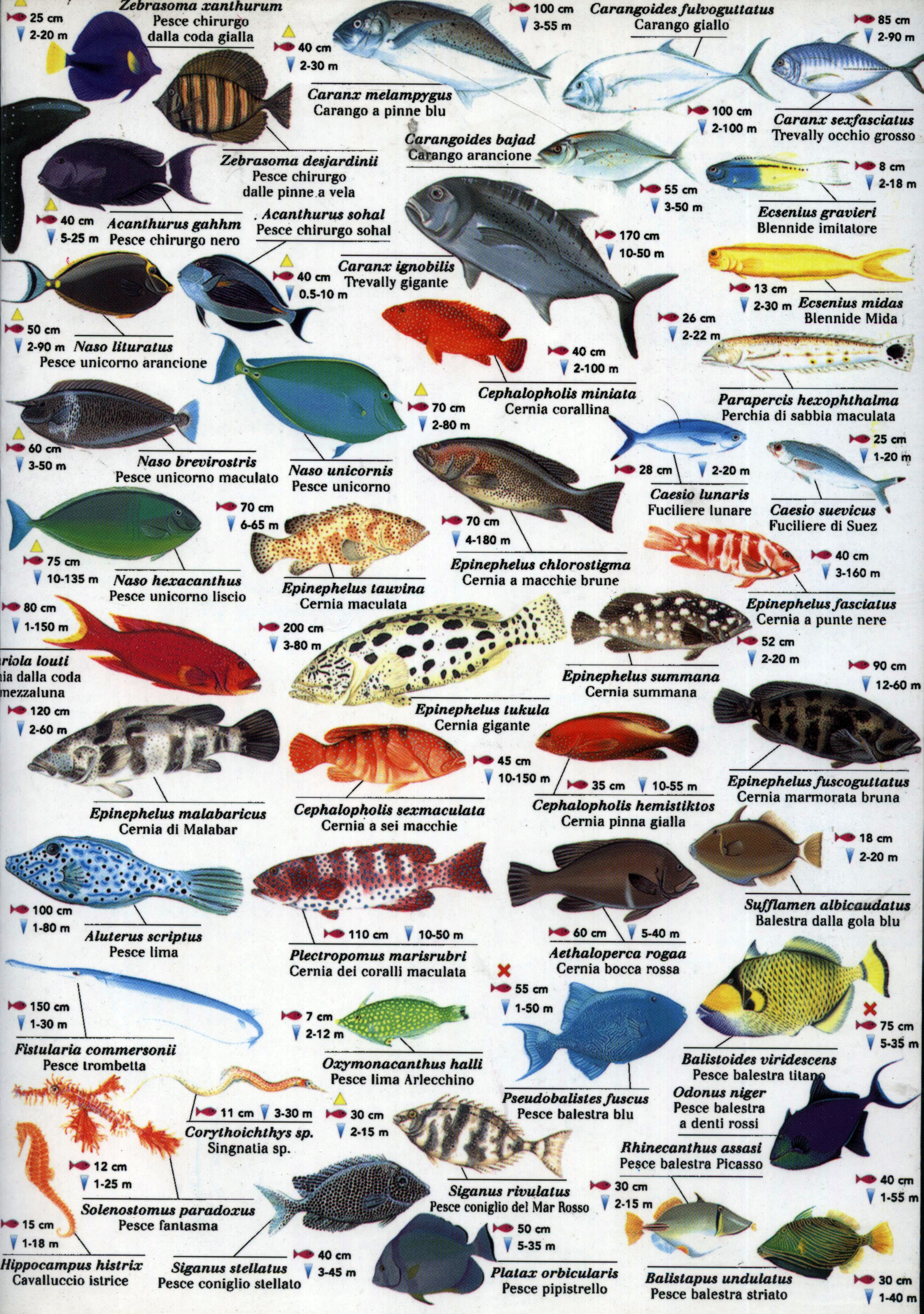 Рыбы красного моря названия фото 6
